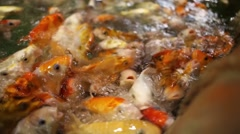 Many small orange fishes wait feed in water of oceanarium Stock Footage