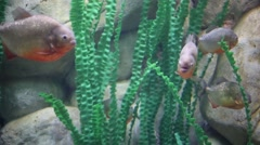 Fishes slowly swim in water with green algae in aquarium Stock Footage
