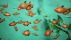 Many small orange fishes swim in water of oceanarium Stock Footage