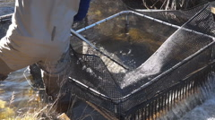 Stock Video Footage of netting brown trout