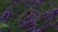 Bee jumping from different lavander flowers Stock Footage