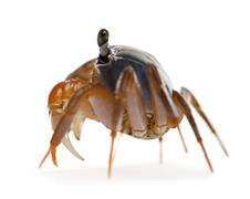 Side view of Patriot crab, Cardisoma armatum, in front of white background - stock photo