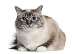 Birman cat, 2 years old, lying in front of white background - stock photo