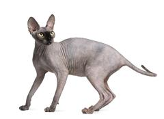 Sphynx cat, 9 months old, standing in front of white background Stock Photos