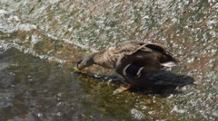 Duck closeup on Dam Stock Footage