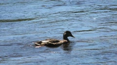 Duck Swimming Upriver Stock Footage