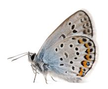 Silver-studded Blue, Plebejus argus -Species of Lepidoptera, called also Hairstr - stock photo