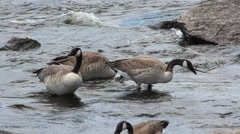 Geese Feeding in River Current Close Up Stock Footage