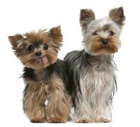 Young and old Yorkshire terriers, 6 months and 12 years old, sitting in front of Stock Photos