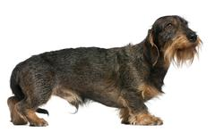 Dachshund, 2 years old, standing in front of white background Stock Photos