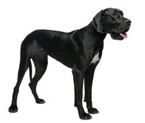 Great Dane, 15 months old, standing in front of white background Stock Photos