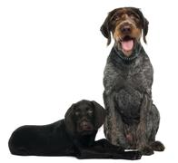 German shorthaired pointer puppy, 3 months old, sitting in front of white backgr Stock Photos
