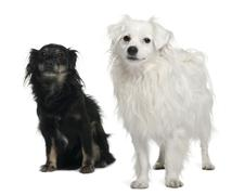 Mixed-breed, 3 and 6 years old, sitting in front of white background Stock Photos