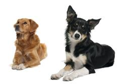 Border collie and a Nova scotia duck-tolling retriever, lying in front of white  - stock photo