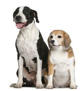 Argentine dogo and a beagle, sitting in front of white background Stock Photos