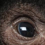 Close-up of Red-faced Spider Monkey eye, Ateles paniscus, 3 months old - stock photo