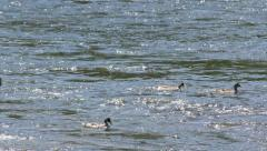 Ducks Swimming Against River Current Stock Footage