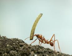 Leaf-cutter ant, Acromyrmex octospinosus, carrying plant in front of blue backgr - stock photo