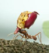 Stock Photo of Leaf-cutter ant, Acromyrmex octospinosus, carrying eaten apple