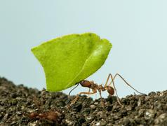 Leaf-cutter ant, Acromyrmex octospinosus, carrying leaf in front of blue backgro - stock photo