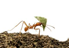 Leaf-cutter ant, Acromyrmex octospinosus, carrying leaf in front of white backgr - stock photo