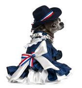 Chihuahua, 7 years old, dressed up and sitting in front of white background Stock Photos