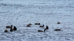 Ducks in a group feeding Stock Footage
