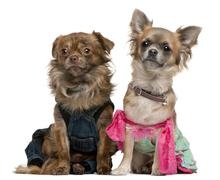 Chihuahua, 2 years old, dressed up and 1 year old, dressed up and sitting in fro - stock photo