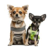 Chihuahua puppy, 2 months old and 1 year old, dressed up and sitting in front of - stock photo
