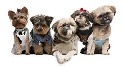 Shih Tzu's, 3 years old, 2 years old, 8 months old, and Yorkshire Terriers, 2 ye - stock photo