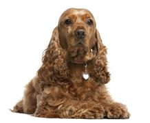 English Cocker Spaniel, 5 years old, lying in front of white background Stock Photos