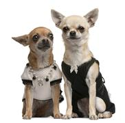 Chihuahua, 2 years old and 1 year old, dressed up and sitting in front of white  - stock photo