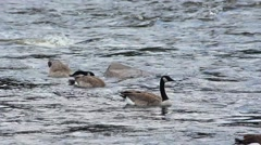 Geese floating in River Current Stock Footage