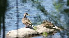 Ducks on rock shot through weeds Stock Footage