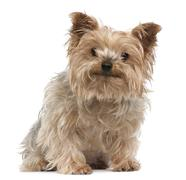 Yorkshire Terrier, 12 years old, sitting in front of white background - stock photo