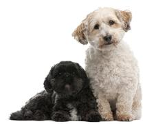 Cross Breed dog, 8 years old, and Lhasa Apso, 4 years old, sitting in front of w - stock photo
