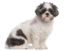 Shih Tzu, 2 years old, sitting in front of white background Stock Photos