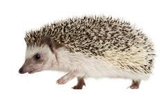 Four-toed Hedgehog, Atelerix albiventris, 2 years old, walking in front of white - stock photo