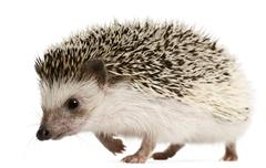 Four-toed Hedgehog, Atelerix albiventris, 2 years old, walking in front of white Stock Photos