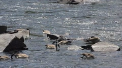 Geese by Rocks Feeding Stock Footage