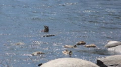 Ducks feeding in group in river curent Stock Footage