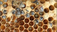 Preparation bees out of the cocoon Stock Footage
