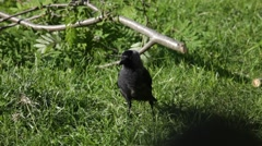 Adult western jackdaw looking for food on a summer pasture Stock Footage