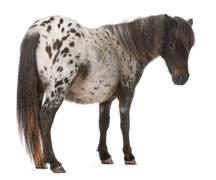 Appaloosa Miniature horse, Equus caballus, 2 years old, standing in front of whi - stock photo