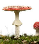 Fly agaric or fly Amanita mushrooms, Amanita muscaria, in front of white backgro Stock Photos