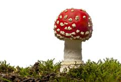 Fly agaric or fly Amanita mushroom, Amanita muscaria, in front of white backgrou - stock photo