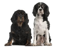 Cavalier King Charles Spaniels, 9 and 7 years old, in front of white background - stock photo