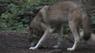 Stock Video Footage of Gray Wolf Eating