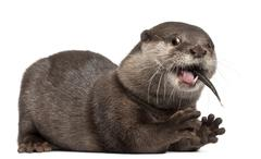 Oriental small-clawed otter, Amblonyx Cinereus, 5 years old, eating fish in fron Stock Photos