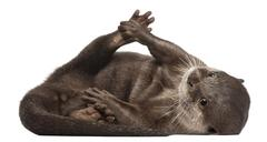 Oriental small-clawed otter, Amblonyx Cinereus, 5 years old, lying in front of w Stock Photos